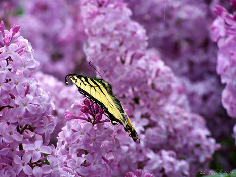 Swallowtail on Lilacs