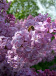 Bee on lilacs