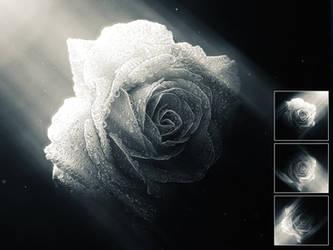 Roses by NuwanP