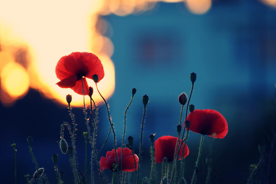 poppies by nbd12