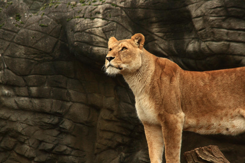Lioness Queen by dmakr...