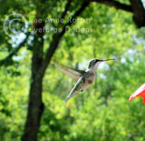 hummingbird 02 by LeeAnneKortus