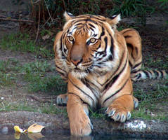 Bengal Tiger at Houston Zoo by LeeAnneKortus