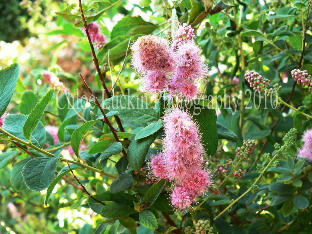 Pink Fuzzy Flower By Chloe Luckin On Deviantart