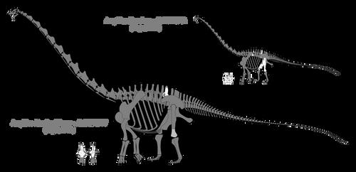 Amphicoelias skeletal reconstructions