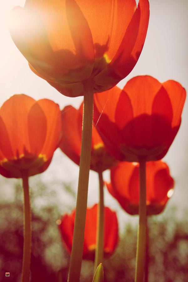 Flashtulips by igormazulevphoto