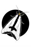 Clymene Moth (Haploa clymene)   BUGSPOTTING SERIES by lizluke