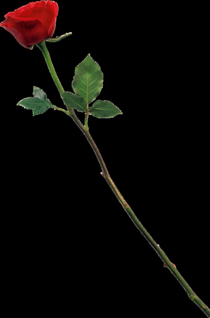 Rose by pauleditZ by pauleditz