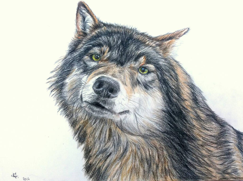 Grey wolf colored pencils by May84