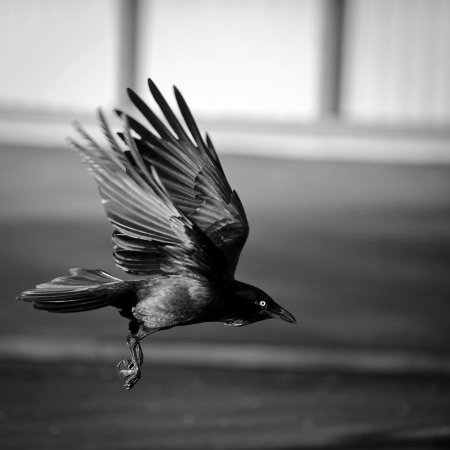 Black and white crow flying