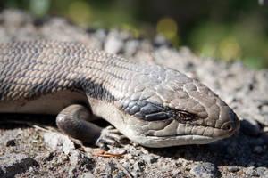 Blue-Tongue Lizard by MartinBennet
