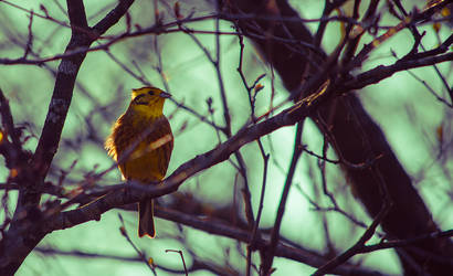 Yellowhammer by FlyingApplesaucer