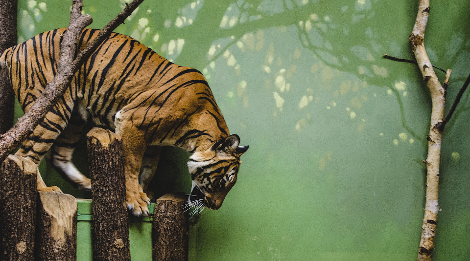 Tiger by FlyingApplesaucer