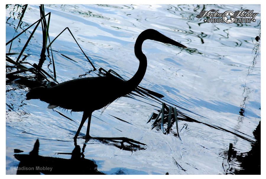 great blue heron by Maddiepantz