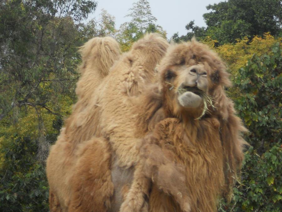 Image result for derpy camel