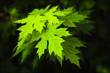 radiant leaves