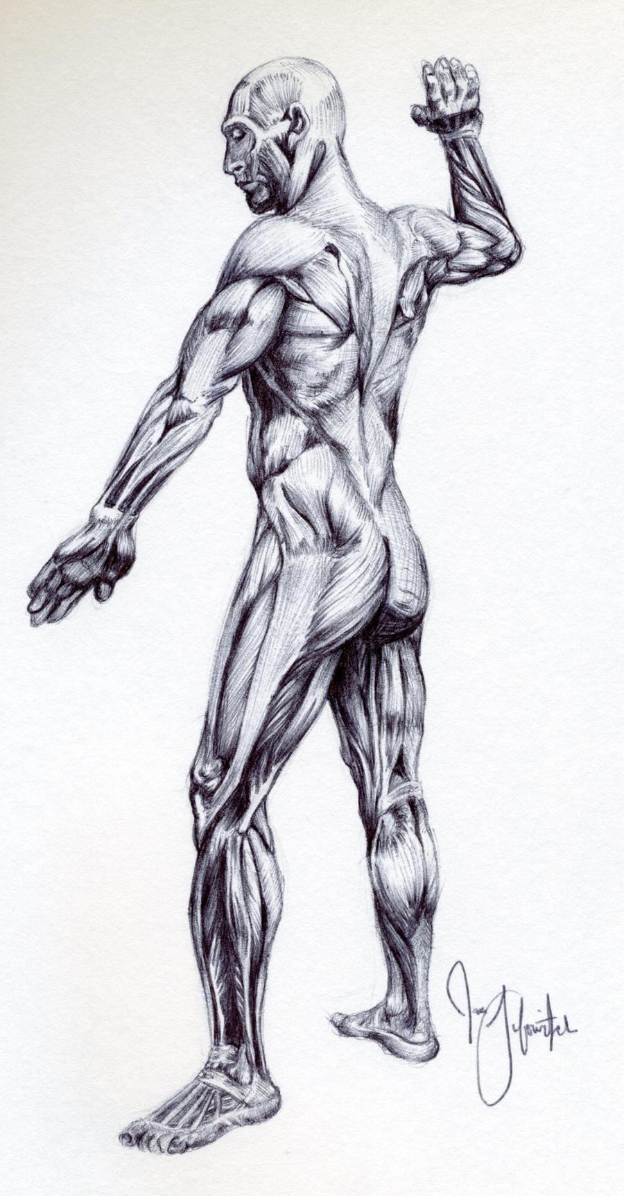Male muscular anatomy sketch by pikajane on DeviantArt