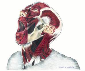 Skull anatomical Illustration by pikajane