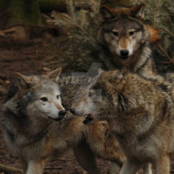 The Pack.