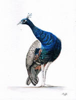 Indian Blue Peacock by aakritiarts
