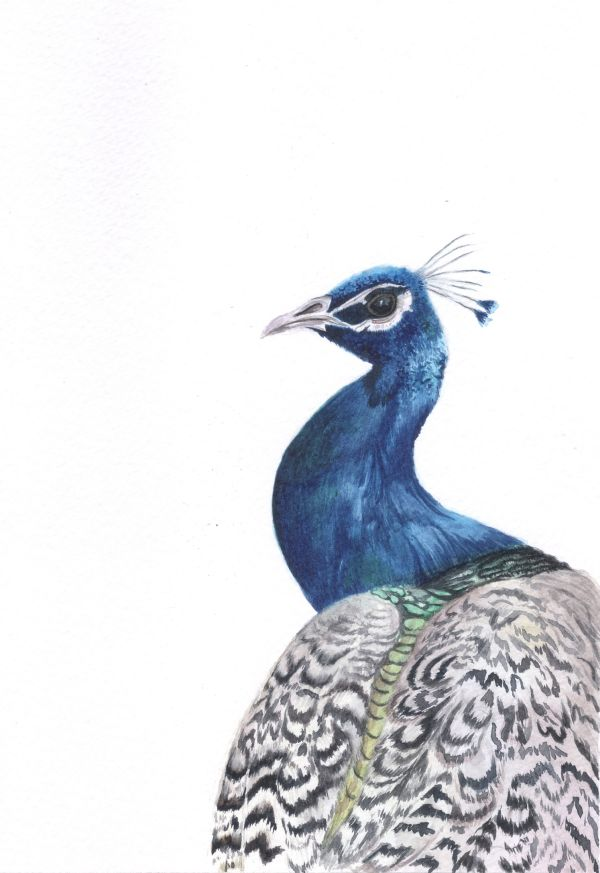 Blue Peacock by aakritiarts