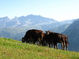 Cows meeting