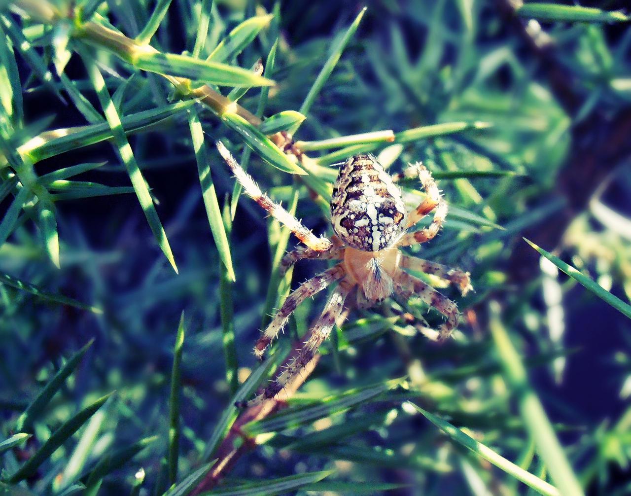 Crusader Spider by Nikoleta036