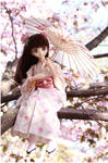 Midst cherry blossoms