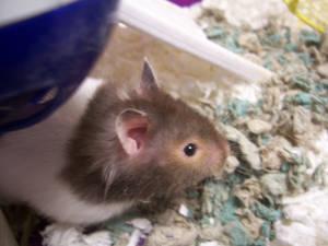 Raja: The Cutest Hamster