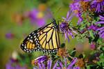 Large Monarch