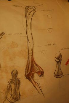 Anatomy Study 1 detail b