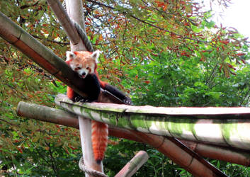 Sleepy red panda by GinHans