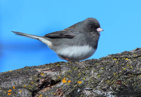 Female Dark eye-Junco by boogster11