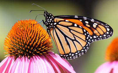 Monarch Days