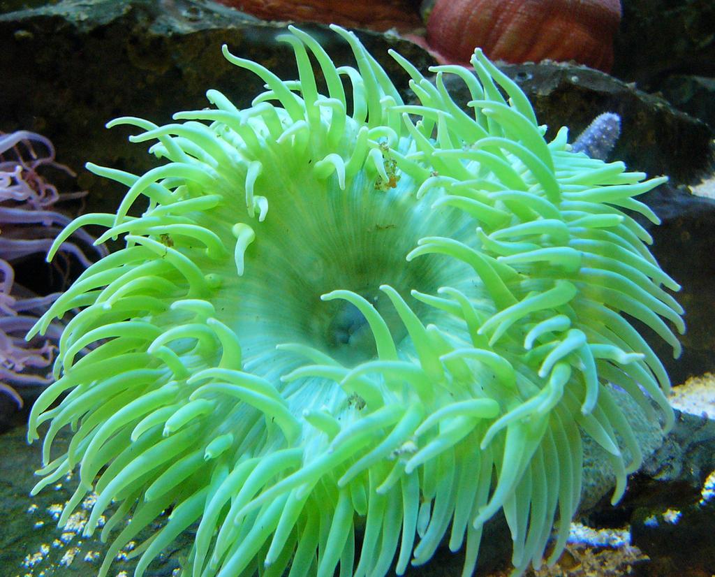 Green Sea Anemone by dgillies on DeviantArt
