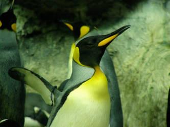 King Penguin Striking a Pose by dgillies