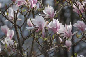 Magnolia Blossom by ianwh