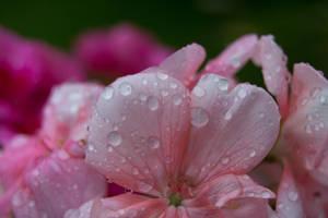 Rain Drops On Pink Geranium by ianwh