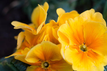 Golden Primula by ianwh