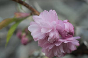 Cherry Blossom Flower Nearly In Full Bloom by ianwh