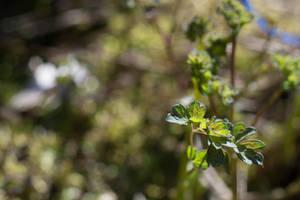 New Growth On Maidenhead Fern by ianwh