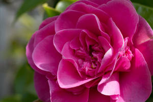 Pink Camellia Drying Out After The Rain by ianwh