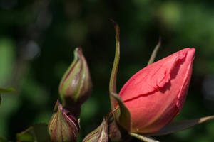 Red Rose Coming Out by ianwh