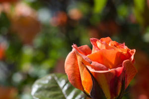 the orange rose round in Kingsway by ianwh