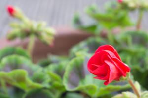 Red Geranium Unfurling by ianwh