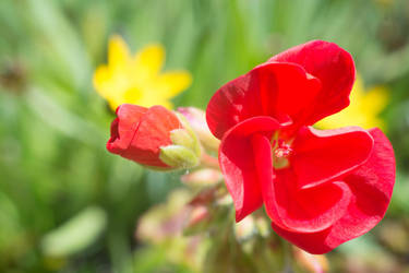 Another Red Geranium by ianwh