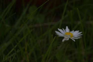 Daisy On Lawn by ianwh