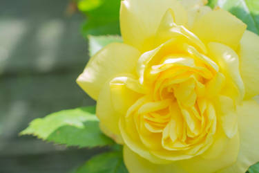 Yellow Rose 6 by ianwh