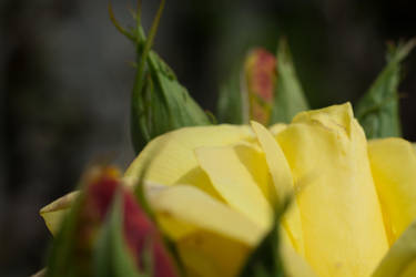 Yellow Rose Can Not Hide Anymore by ianwh