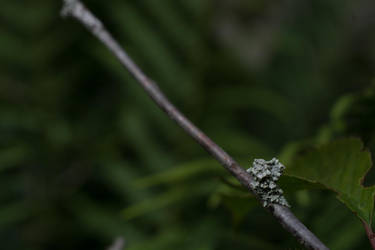 Lichen On The Cherry Tree by ianwh